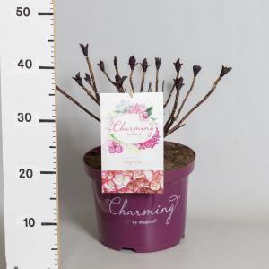 Hydrangea Macrophylla Charming® Sophia Pink® boerenhortensia - 30-40 cm - 1 stuks