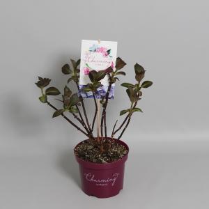 Hydrangea Macrophylla Charming® Sophia Blue® boerenhortensia - 25-30 cm - 1 stuks