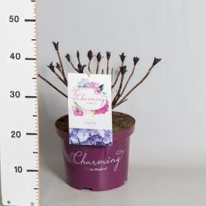 Hydrangea Macrophylla Charming® Sophia Blue® boerenhortensia - 30-40 cm - 1 stuks