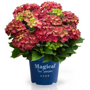 Hydrangea Macrophylla Magical Ruby Tuesday® boerenhortensia - 25-30 cm - 1 stuks