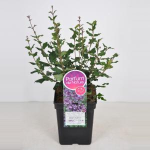 Dwergsering (syringa Bloomerang®Dark Purple) - 40-60 cm - 1 stuks