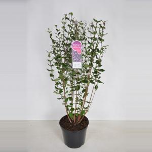 Dwergsering (syringa Bloomerang®Dark Purple) - 70-100 cm - 1 stuks
