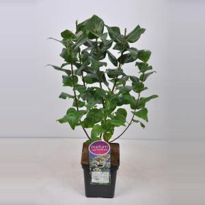 Sering (syringa vulgaris Marie Legraye)