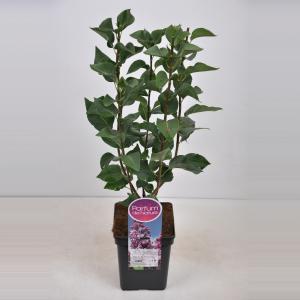 Sering (syringa vulgaris Paul Deschanel) - 50-70 cm - 1 stuks