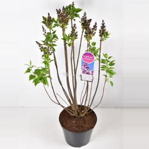 Sering (syringa vulgaris Paul Deschanel) - 90-120 cm - 1 stuks