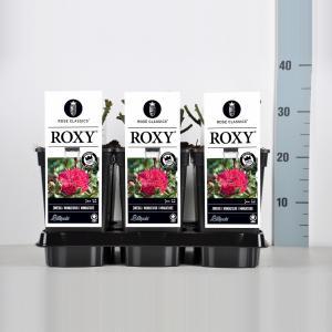 Miniatuurroos (rosa Roxy®)