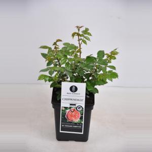 Grootbloemige roos (rosa Chippendale®)