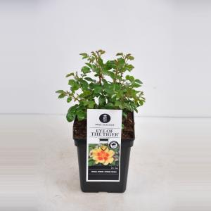 Persica roos (rosa persica Eyes of the Tiger®)