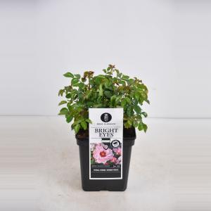 Persica roos (rosa persica Bright Eyes®)