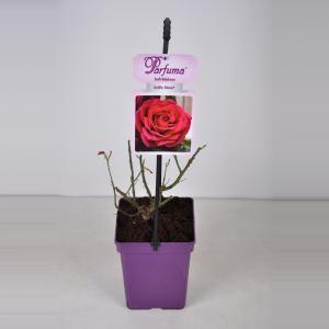 "Grootbloemige roos (rosa ""Gräfin Diana® Parfuma®)"