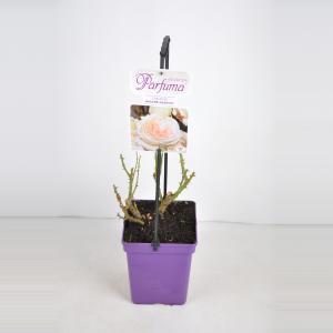 Grootbloemige roos (rosa Madame Anisette® Parfuma®)