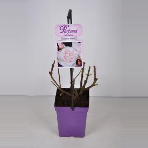 Grootbloemige roos (rosa Constanze Mozart® Parfuma®)