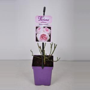 Trosroos (rosa Herzogin Christiana® Parfuma®)
