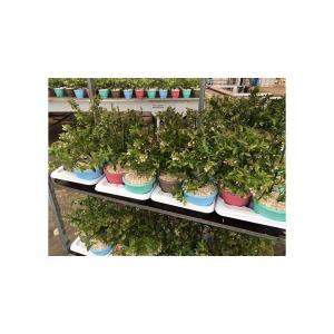 Bosbes in cadeaupot (vaccinium corymbosum Sunshine Blue) fruitplanten - 24 stuks