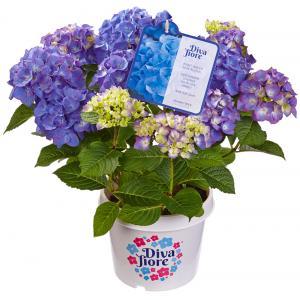 Hydrangea Macrophylla Diva Fiore Blue® boerenhortensia
