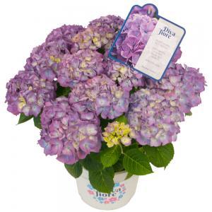 Hydrangea Macrophylla Diva Fiore Violet® boerenhortensia