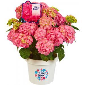 Hydrangea Macrophylla Diva Fiore Pink® boerenhortensia