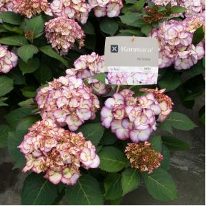 Hydrangea Macrophylla Kanmara De Beauty Roze® boerenhortensia