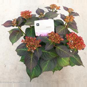 Hydrangea Macrophylla Kanmara De Beauty Rozé® boerenhortensia