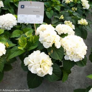 Hydrangea Macrophylla Kanmara De Beauty White® boerenhortensia