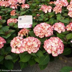 Hydrangea Macrophylla Kanmara de Beauty Pink® boerenhortensia
