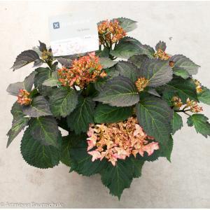 Hydrangea Macrophylla Kanmara De Beauty Champagne® boerenhortensia