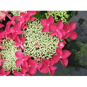 Hydrangea Macrophylla Classic® Lady In Red® schermhortensia - 30-40 cm - 1 stuks