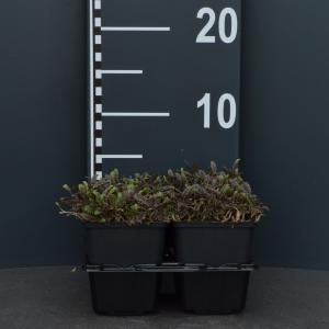 Koperknoopje (leptinella potentillina Platt's Black) bodembedekker - 4-pack - 1 stuks