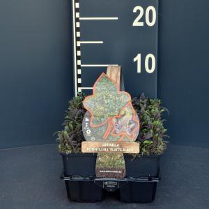 Koperknoopje (leptinella potentillina Platt's Black) bodembedekker - 6-pack - 1 stuks