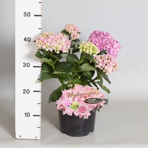 Hydrangea Macrophylla Double Flowers Pink® boerenhortensia - 25-30 cm - 1 stuks