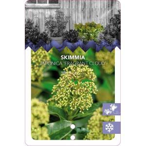"Skimmia (Skimmia Japonica ""Fragrant Cloud"") heester - 40-50 cm (C7) - 7 stuks"