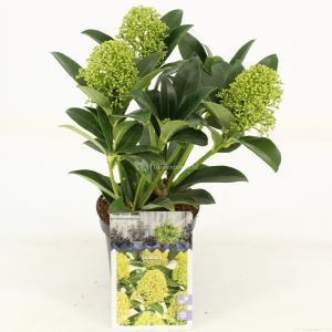 """Skimmia (Skimmia Japonica """"White Globe""""®) heester - 15-20 cm (P10.5) - 11 stuks"""