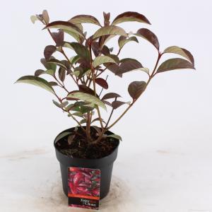 "Sneeuwbal (Viburnum ""Le Bois Marquis""®) heester - 25-30 cm (C2) - 6 stuks"
