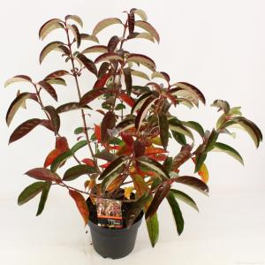 "Sneeuwbal (Viburnum ""Le Bois Marquis""®) heester - 40-50 cm (C4.5) - 9 stuks"
