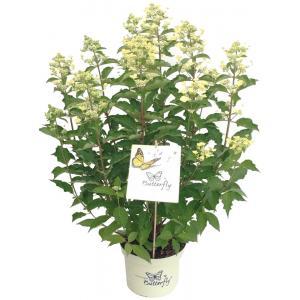 Hydrangea Paniculata Butterfly® pluimhortensia - 30-40 cm - 1 stuks
