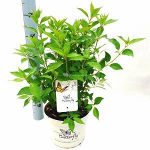 Hydrangea Paniculata Butterfly® pluimhortensia - 60-65 cm - 1 stuks