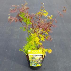 Japanse esdoorn mix (Acer palmatum Festival) heester