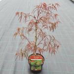 "Japanse esdoorn (Acer palmatum ""Enkan"") heester"