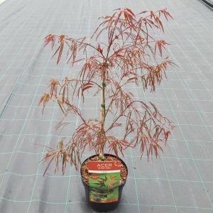 Japanse esdoorn (Acer palmatum Enkan) heester - 40-50 cm - 1 stuks