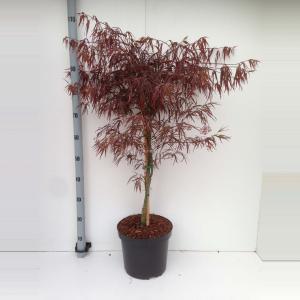 Japanse esdoorn (Acer palmatum Enkan) heester - 80+ cm - 5 stuks