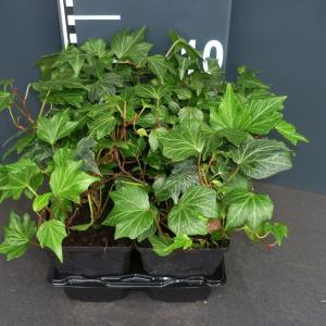 Klimop (hedera helix Green Ripple) bodembedekker - 4-pack - 1 stuks