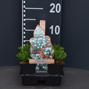 Steenanjer (dianthus deltoides White) bodembedekker - 4-pack - 1 stuks