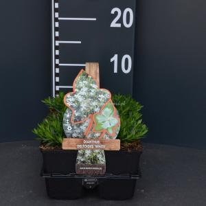 Steenanjer (dianthus deltoides White) bodembedekker - 6-pack - 1 stuks