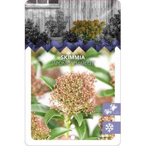 "Skimmia (Skimmia Japonica ""Marlot"") heester - 50-60 cm (C15) - 4 stuks"