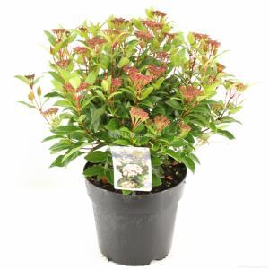"Sneeuwbal (Viburnum tinus ""Ladybird""®) heester - 50-60 cm (C7) - 6 stuks"