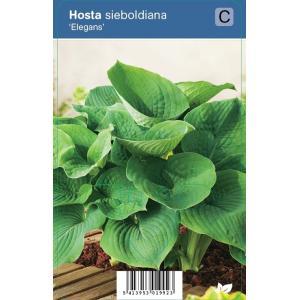 Hartlelie (hosta sieboldiana Elegans) schaduwplant - 12 stuks