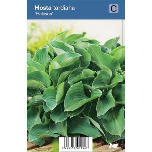 Hartlelie (hosta tardiana Halcyon) schaduwplant - 12 stuks