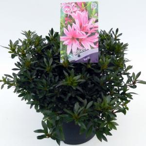 Rododendron (Rhododendron Satsuki Korin) heester