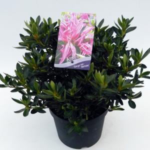 Rododendron (Rhododendron Satsuki Shiryu-no-Homare) heester