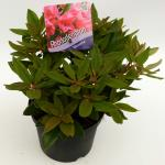 """Dwerg rododendron (Rhododendron """"Winsome"""") heester"""